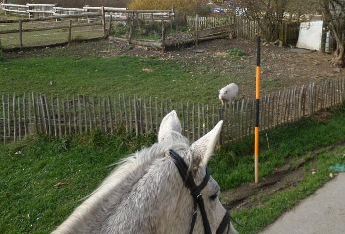 ganz weisse pferde